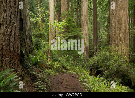 CA03576-00...CALIFORNIE - Catherdral sentier serpente à travers les arbres arbres Séquoia géant en Prairie Creek Redwoods State Park; partie de la séquoias Naiton