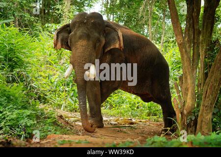 - L'éléphant d'Asie Elephas maximus dans la jungle thaïlandaise, également appelé l'éléphant asiatique, seule espèce vivante de l'Elephas, distribué de l'Inde, à la Nepa