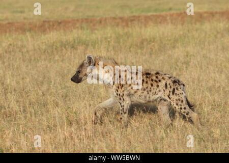 L'hyène tachetée dans la savane, le Parc National de Masai Mara, Kenya.