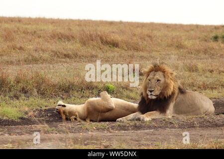 Lion et lionne dans la savane, le Parc National de Masai Mara, Kenya.