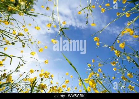 Crowfoot, Ranunculus acris, d'en bas contre le ciel bleu Banque D'Images