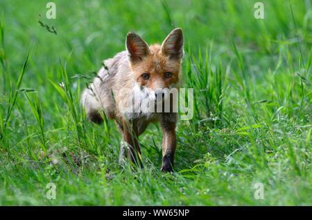 Jeune européen red fox meadow, Vulpes vulpes Banque D'Images