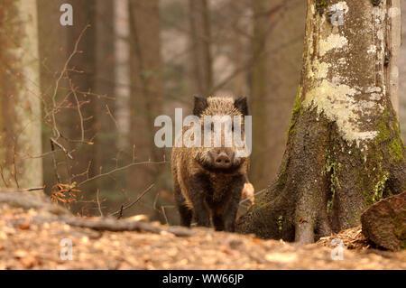Le sanglier dans la forêt, Sus scrofa Banque D'Images