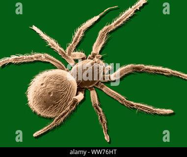 Image au microscope électronique à balayage d'une araignée (grossissement x 12, ordinateur amélioré) Banque D'Images