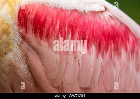 Détaillez les plumes d'aile d'un Spoonbill de Roseate (Platalea ajaja) au parc national de la faune d'Ellie Schiller Homosassa Springs, Floride, États-Unis. Banque D'Images