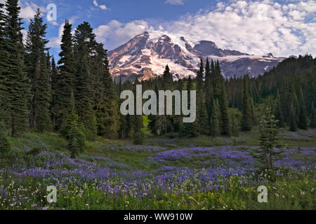 La floraison de la bistorte cotonneuse doux donne une apparence de neige parmi le brouillard dans la vallée du Paradis Washington's Mt Rainier National Park.