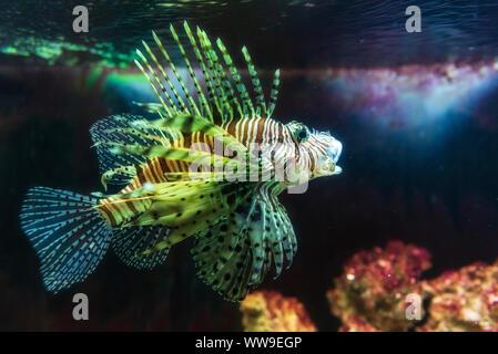 Gros plan sur un poisson-papillon rouge - des poissons de récifs coralliens en grand aquarium Banque D'Images