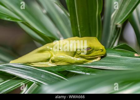 Grenouille des feuilles volantes, Agalychnis fallax, grenouille verte dormant sur une feuille au Costa Rica Banque D'Images