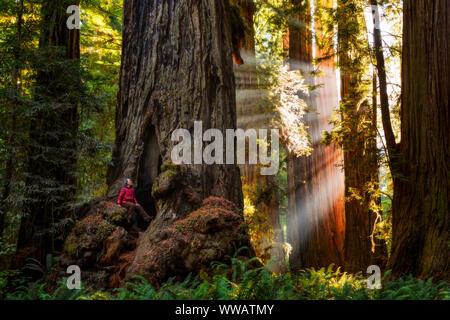Une femme à l'intérieur d'un séquoia géant et redwood avec rayons de soleil venant à travers les arbres le long de la côte californienne à l'état et National Redwoods