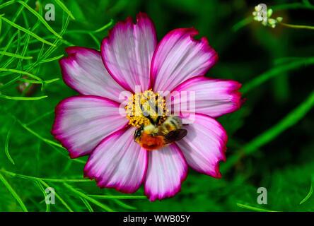 Belle fluffy bumblebee tricheuse blanc avec fleur cosmos rose dans le jardin, Close up