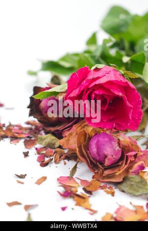 Roses roses fraîches et sèches avec des fractures de pétales de rose sur fond blanc. Concept de contraste pour vivre et la mort, l'amour et la perte, doux et bitt