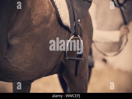 Le ventre d'un Bay sports cheval avec fourrure lisse, qui porte des munitions - saddlecloth équestres, selle et étrier, et qui est dirigé par la bri Banque D'Images