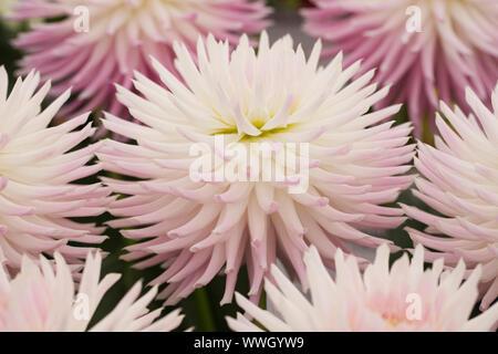 Dahlia 'Trelyn Kiwi' fleurs. Banque D'Images