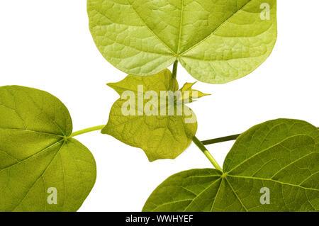 Des feuilles d'un plant de coton