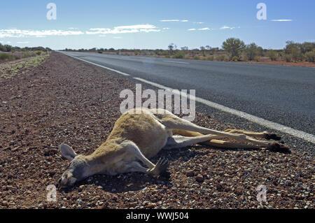 Kangourou géant rouge, Macropus rufus, exécuter plus d'Australie du Sud, Banque D'Images