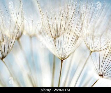 Pissenlit fleur bleu résumé arrière-plan, gros plan extrême avec soft focus, belle nature détails Banque D'Images