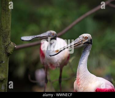 Roseate Spoonbill couple d'oiseaux en profitant de la cour et de l'environnement environnant. Banque D'Images