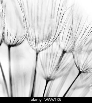 Noir et blanc résumé fond de fleurs de pissenlit, gros plan extrême avec soft focus Banque D'Images