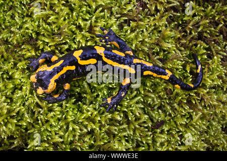 Salamandre terrestre européen (Salamandra salamandra), vue d'en haut, assis sur moos, Witten, Allemagne Banque D'Images