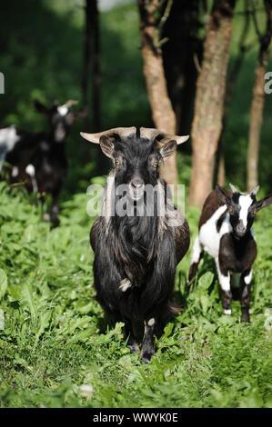 Une chèvre curieuse dans le parc face à l'objectif Banque D'Images
