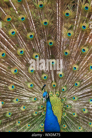 Paons commun, Indienne, paons paons bleus (Pavo cristatus), homme répandre tail feathers