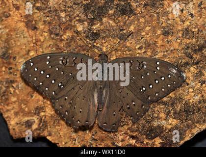 Un papillon de l'thronveld coomon et la savane. La pintade est un des cpommonest de la famille Brown. Ils sont en possession de tracts faible