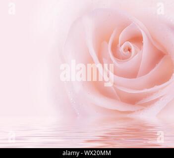 Rose frais Banque D'Images