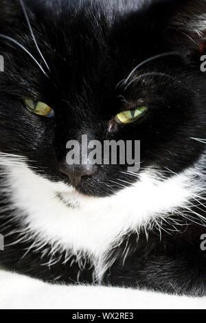 Chat domestique, chat de maison, (felis silvestris catus) f., noir et blanc, portrait