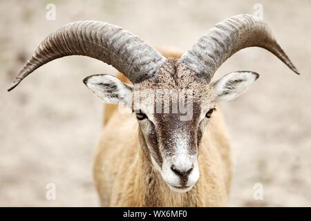 Mouflon (Ovis musimon, Ovis gmelini musimon, Ovis orientalis musimon), portrait, ram, Allemagne Banque D'Images