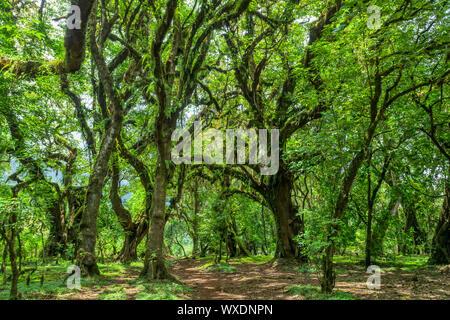 Forêt Harenna en montagnes de balle, de l'Éthiopie Banque D'Images