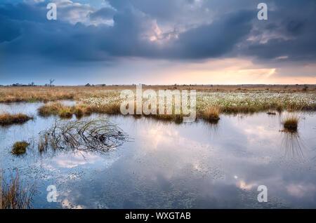 Marécage à cottograss avec sky avant le coucher du soleil Banque D'Images