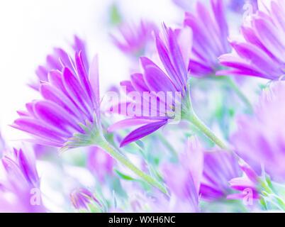 Gros plan sur les fleurs daisy rose doux, frais, champ de camomille fine art, Soft focus, dans le milieu naturel, la nature en fleurs Banque D'Images