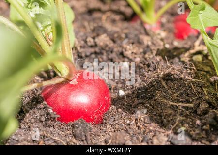 La culture des radis délicieux dans le jardin Banque D'Images
