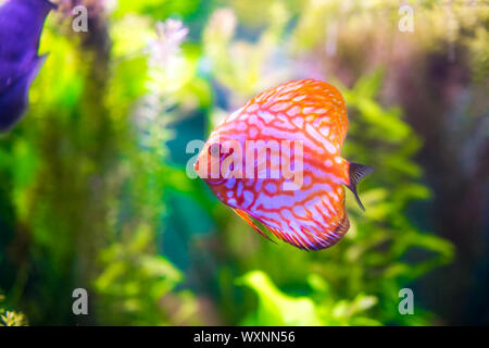 Symphysodon discus dans un aquarium sur un fond vert