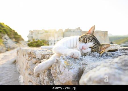 Un beau chat blanc avec une tête gris dort sur un mur de pierre en face du village de Bonifacio au cours d'un magnifique coucher de soleil. Bonifacio, Corse, Banque D'Images