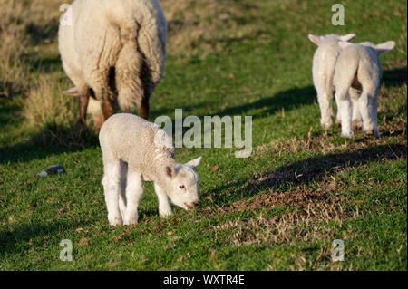 Deux agneaux dans une scène rurale avec leur maman Banque D'Images