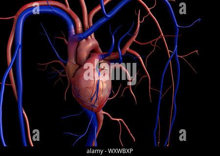 Coeur de l'homme anatomie de l'artère, l'artère, illustré avec une section, le rendu de haute qualité avec des textures originales et de l'illumination globale, contraction o Banque D'Images