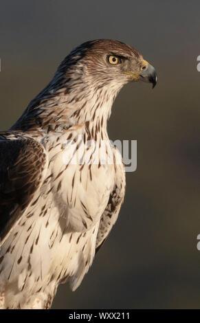 Aigle de Bonelli (Aquila fasciata) détails de la tête, l'Espagne Banque D'Images