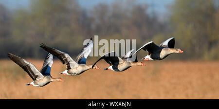 Oies cendrées (Anser anser) en vol, la réserve naturelle du delta de la Sauer Munchhausen, Rhin, Alsace, France