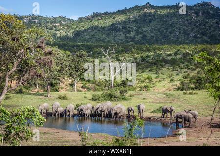 Bush africain elephant (Loxodonta africana) troupeau dans un paysage de beauté en Kruger National Park, Afrique du Sud Banque D'Images
