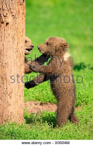 Ours brun (Ursus arctos), deux oursons jouant et tussling les uns avec les autres, captive Banque D'Images