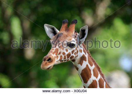 Somali Girafe (Giraffa camelopardalis reticulata), adulte, portrait, survenue en Afrique, captive Banque D'Images