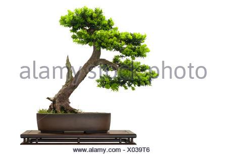 En tant que juif japonais bonsai