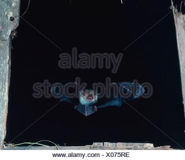 Vespertilion de Bechstein Bat Banque D'Images