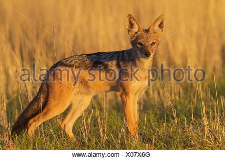 Le Chacal à dos noir (Canis mesomelas), marcher dans la prairie, Désert du Kalahari, Kgalagadi Transfrontier Park, Afrique du Sud Banque D'Images