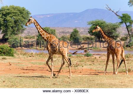 Giraffe réticulée ou Somali girafes (Giraffa camelopardalis reticulata) courir le long de la rivière, la réserve nationale de Samburu, Kenya