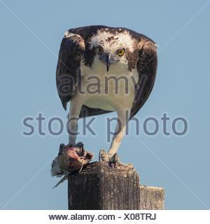 Osprey (Pandion haliatus) debout sur un poteau en bois mangeant du poisson, Sarasota, Floride, États-Unis Banque D'Images