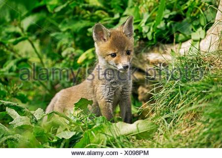 Le renard roux, Vulpes vulpes, Cub sur herbe, Normandie Banque D'Images