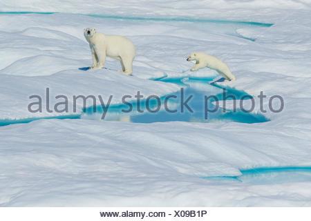 Un ours polaire (Ursus maritimus) et son saut entre glace à la cub dans l'Arctique canadien. Banque D'Images