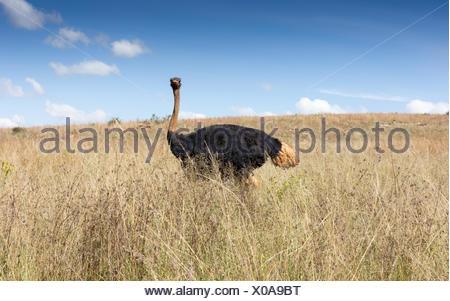 Autruches dans wilderness, Afrique du Sud Banque D'Images